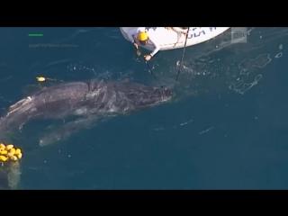 У берегов Австралии два часа вызволяли детеныша кита из сетей для акул