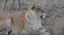 Львица игнорит красавца Олежку ! Страсти в саванне продолжаются