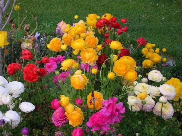 Неприхотливый соперник эустомы для Сада: охотно цветет, а ухаживать проще.