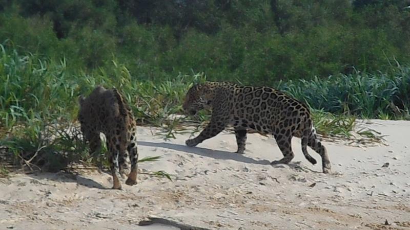 Jaguar Fight Rumble in the Jungle Read Pantanal