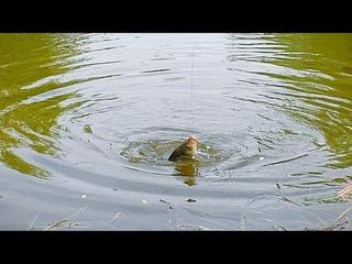 РЫБАЛКА НА КАРАСЯ. Весенний бешеный клёв на поплавочную удочку, крупным планом.