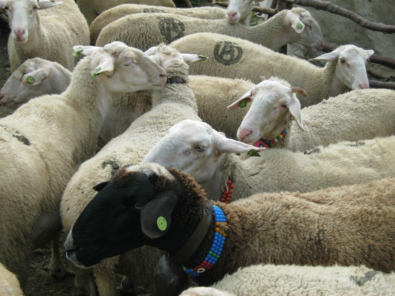 овцы с ожерельями