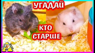Наши хомяки  долгожители / джунгарский хомяк и хомяк кемпбелла / Алиса Изи Петс / Alisa Easy Pets