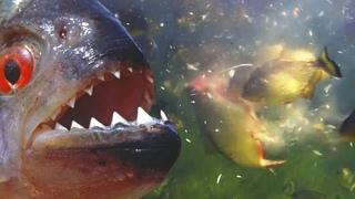 Пираньи — агрессивные речные монстры! Самые зубастые и прожорливые рыбы!