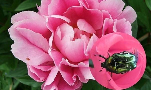 БОЛЕЗНИ ПИОНОВ И ИХ ЛЕЧЕНИЕ МЕРЫ ПРОТИВ ПЯТНИСТОСТИ Пион одна из первых летних радостей. Его цветы необычайно привлекательны и при этом скромны. Но красота их очень хрупкая болезни пионов не