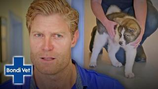Ветеринар Бондай Бич: Ампутация лапы у щенка для улучшения качества жизни / Dr Chris Brown Amputates Puppy's Deformed Leg For A BETTER LIFE!   Classic Clip   Bondi Vet
