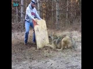 Спасение волка - уважение человеку -