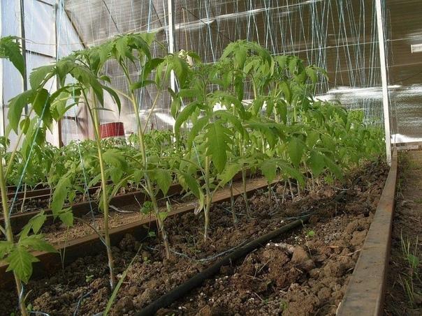 КОГДА И КАКИЕ ПРОВОДЯТ ПОДКОРМКИ томатов в теплице