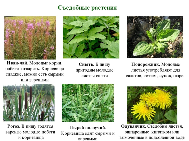 понятный гайд съедобные дикорастущие растения фото с названиями далеко