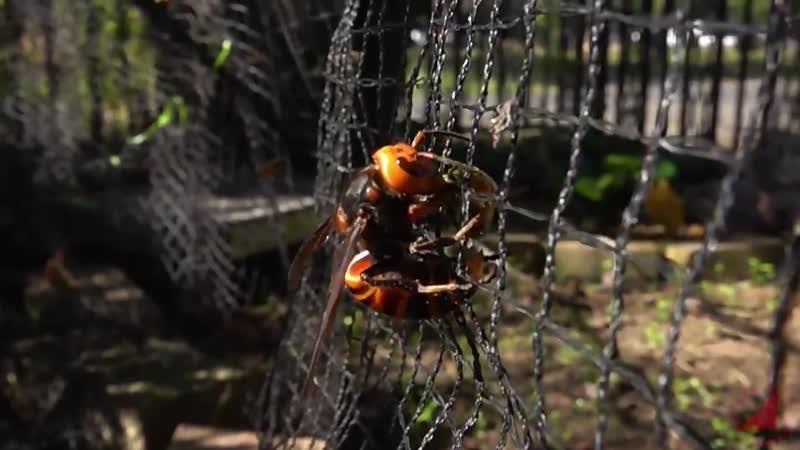 Битва пчел и шершней