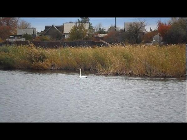 Лебедь на реке Аксу город Степногорск