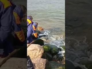 Спасение тюленя в Зеленоградске