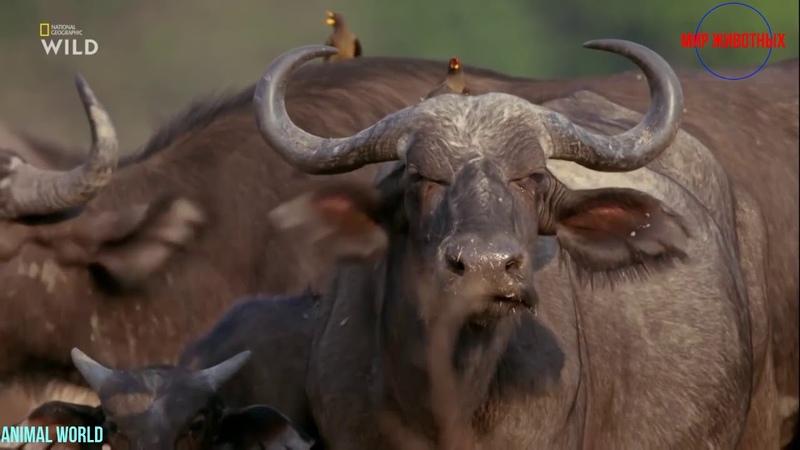 Африканские охотники Фильм 17 Схватка буйволов последняя серия