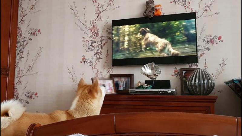 Собака эмоционально смотрит телевизор Реакция Сату на фильм про собак Акита ину