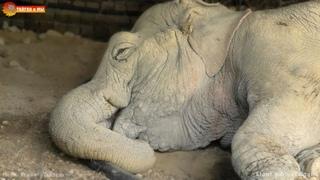 Видели, как СЛОН СПИТ? Ложится и просыпается! Тайган How the ELEPHANT SLEEPS, lies down and wakes up
