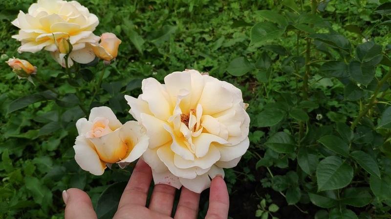 Розы в Подмосковье. Более 50 сортов роз в ролике... Названия, внешний вид, мои впечатления