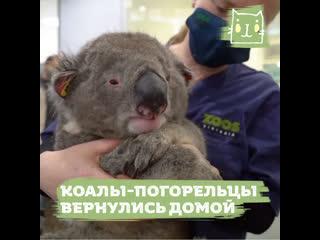 Переживших лесные пожары коал выпускают на волю