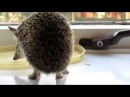 Long eared hedgehog Ушастый ёж Hemiechinus auritus