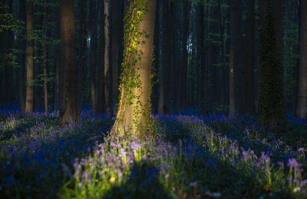 Дикие гиацинты зацвели в старинном лесу Халлербос, Бельгия. Наши дни.