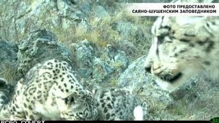 В Саяно Шушенском заповеднике подрастают котята снежного барса