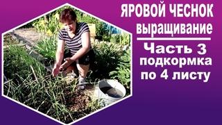 Яровой чеснок посадка и уход  Часть 3  - чем подкормить чеснок для хорошего урожая