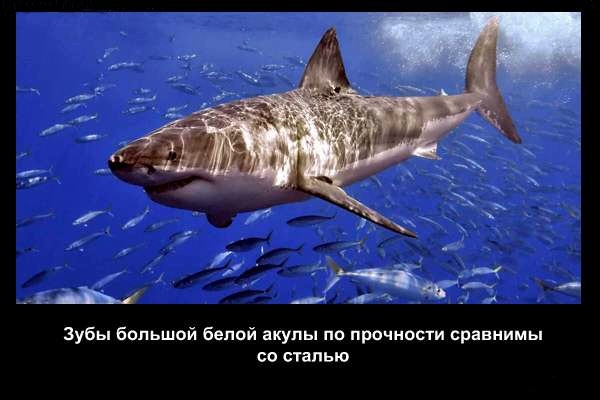 валтея - Интересные факты о акулах / Хищники морей.(Видео. Фото) DX10Xf8mvwM