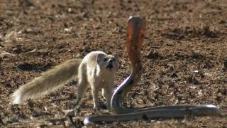 Мангуст - маленький и ловкий укротитель змей! Интересные факты о мангустах.