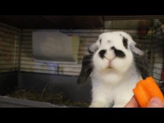 Мой крол кушает моркоФ ))