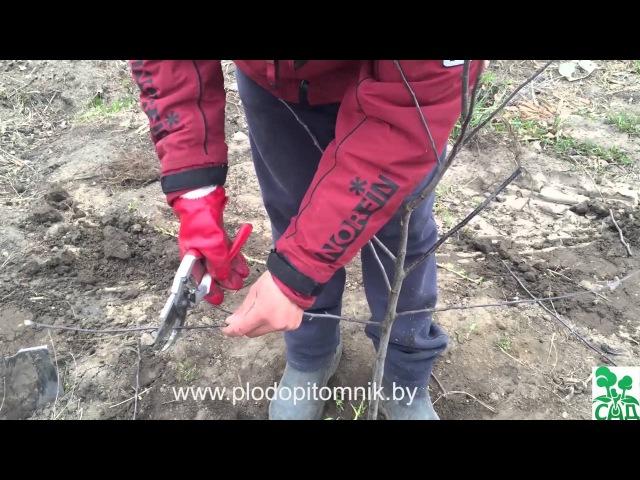 Посадка плодовых растений для начинающих 100% приживаемость при качественном посадочном материале