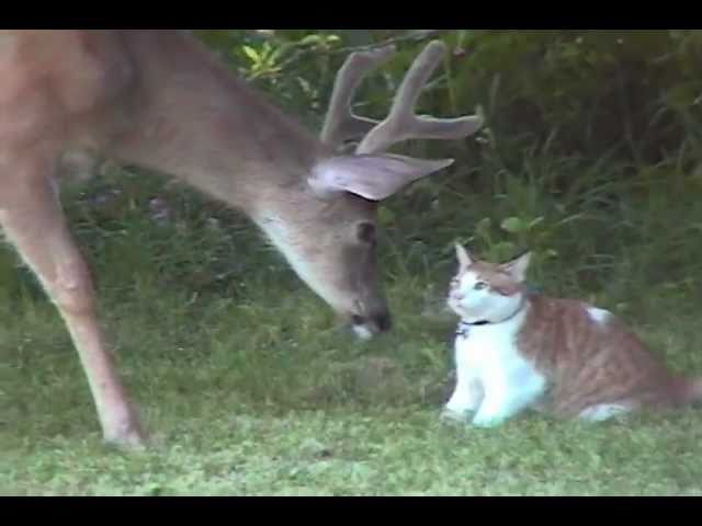 Snuggles the Cat Meets Deer