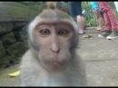 Смешные обезьяны. Подборка видео 2015