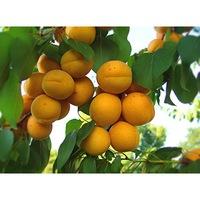 саженец абрикоса Крымский Амур