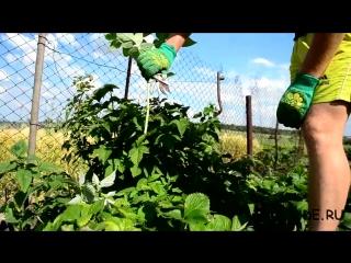 Двойная обрезка малины (весенний этап) по Соболеву