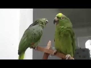 Пьяный дуэт попугаев. Cмотреть можно бесконечно!!!