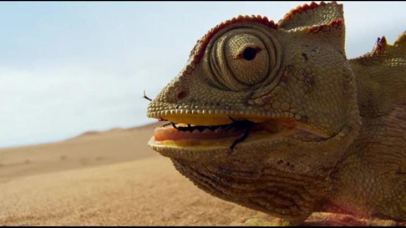 Лапчатый геккон и Пустынный хамелеон
