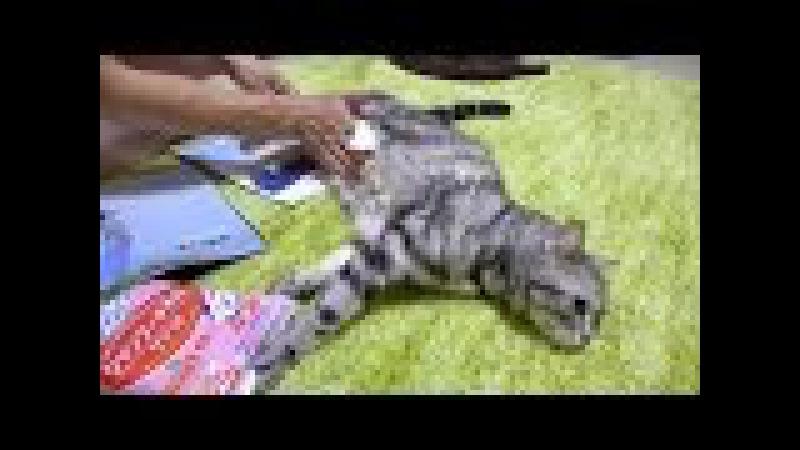シャンプータオル初体験☆拭き拭きに耐える猫
