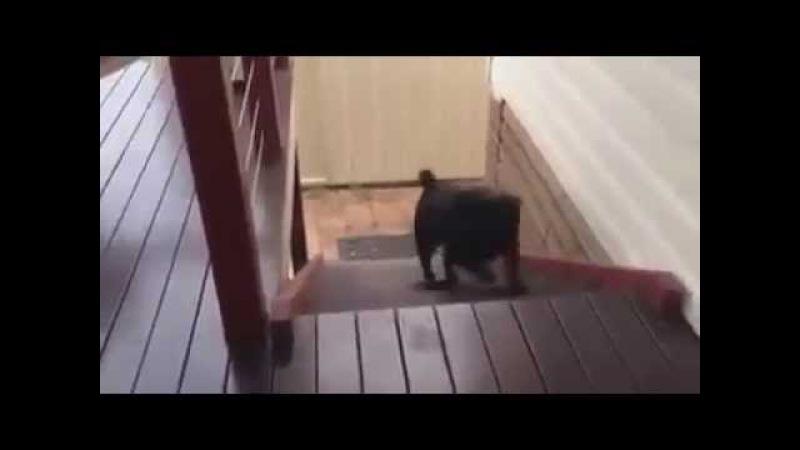 Pug Stair Climb