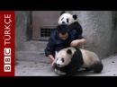 Yemek beklerken ilaçla karşılaşan panda yavrularının intikamı BBC TÜRKÇE