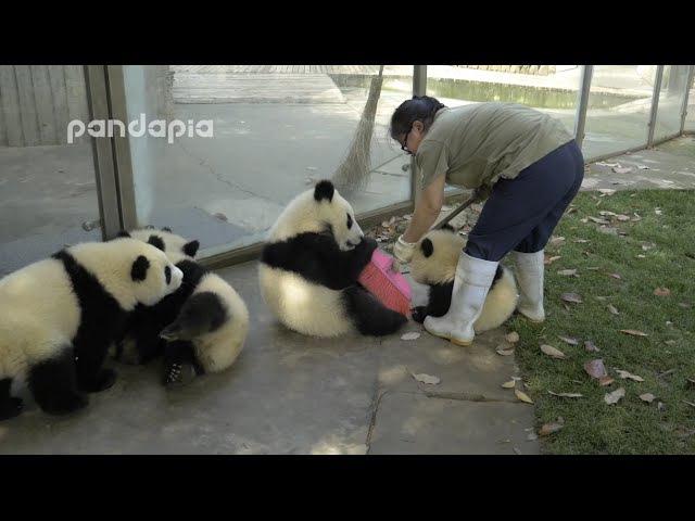 Panda cubs and nanny Mei s war Ⅱ