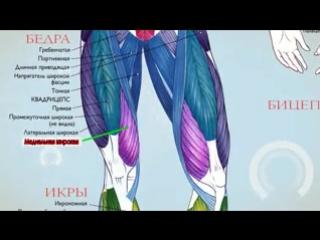 Анатомия. Экскурс по основным мышцам человека. (240p)