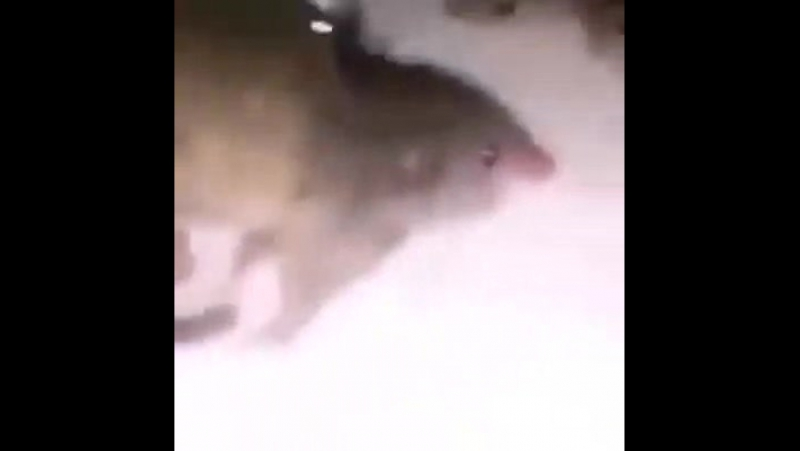 Rats who's never learn