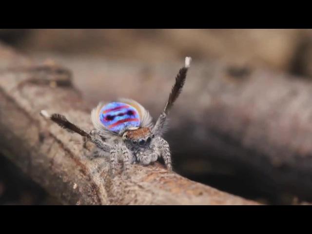 Peacock Spider Dances to YMCA · coub, коуб