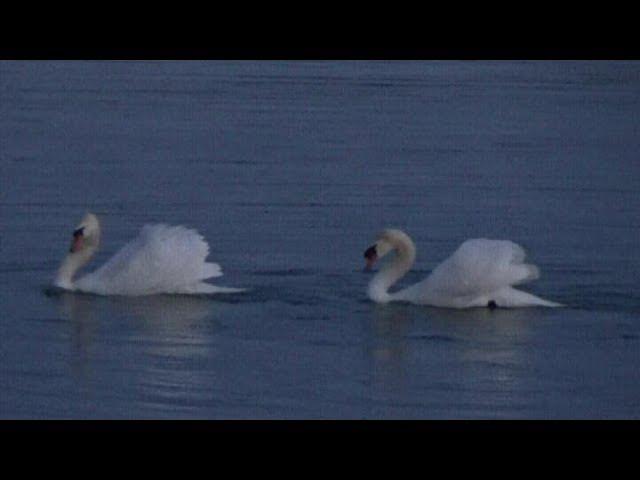 Чудо...Вальс лебедей на Боденском озере. Германия.