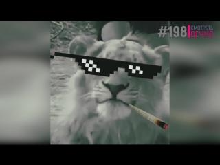 Лев чихнул (#198)