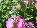 Языкан обыкновенный-бабочка из семейства бражников.
