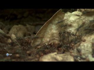 BBC Удивительный мир животных (10). Муравьи (Познавательный, природа, 2014)