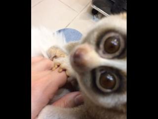 Лемур лори сидит на моей руке, а своей - закрывает камеру! Стеснительный.