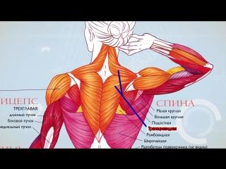 Анатомия. Экскурс по основным мышцам человека.