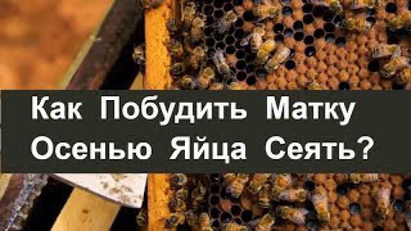 №77 Как Побудить Матку Сеять Яйца Осенью Пасека Биз Пчеловодство Пасека