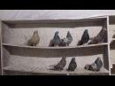Мои голуби